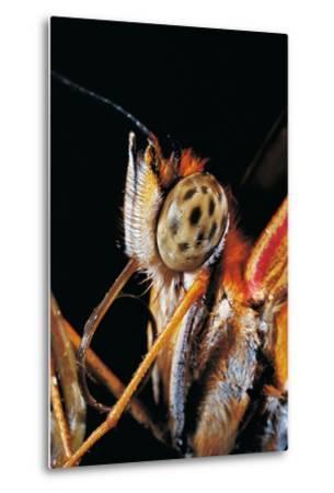 Dryas Julia (Julia Butterfly, the Flame) - Portrait-Paul Starosta-Metal Print