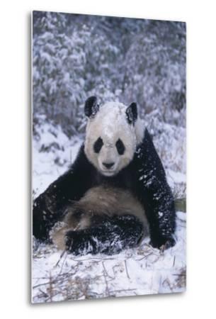 Giant Panda Sitting in Snow-DLILLC-Metal Print