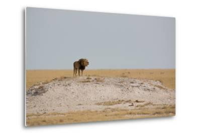 A Lion, Panthera Leo, Surveying His Territory-Alex Saberi-Metal Print