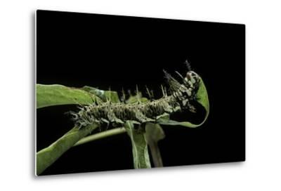 Dryas Julia (Julia Butterfly, the Flame) - Caterpillar Feeding on Passion Flower Leaf-Paul Starosta-Metal Print