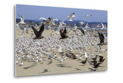 Terns and Seagulls-Richard Cummins-Metal Print