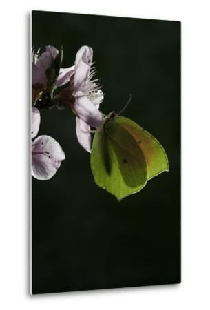 Gonepteryx Cleopatra (Cleopatra Butterfly)-Paul Starosta-Metal Print