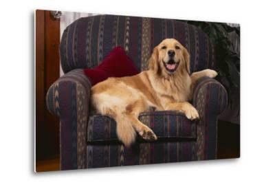 Golden Retriever Resting in Armchair-DLILLC-Metal Print