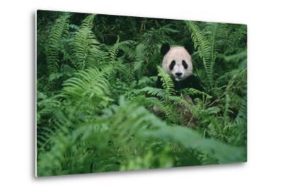 Giant Panda in Forest-DLILLC-Metal Print