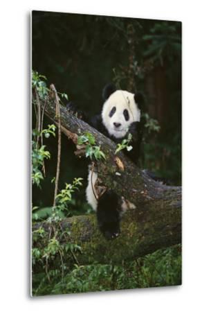 Panda on Fallen Tree-DLILLC-Metal Print