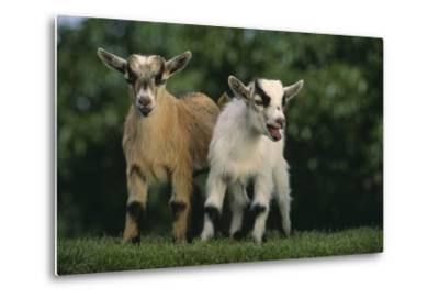 Two Pygmy Goats-DLILLC-Metal Print