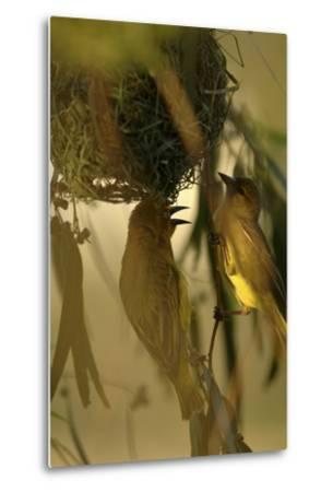 Cape Weaver Birds Building a Nest in South Africa-Keith Ladzinski-Metal Print