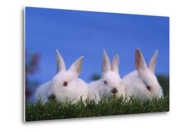 Domestic Rabbits in Grass-DLILLC-Metal Print