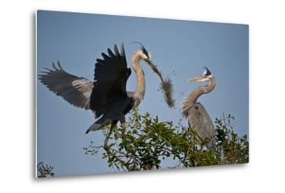 Florida, Venice, Great Blue Heron, Courting Stick Transfer Ceremony-Bernard Friel-Metal Print