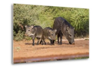 Starr County, Texas. Collared Peccary Family in Thorn Brush Habitat-Larry Ditto-Metal Print