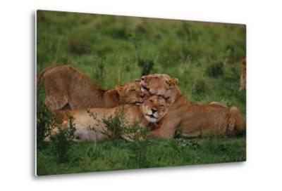 Lions Lounging in Grass-DLILLC-Metal Print