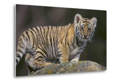 Bengal Tiger Cub on Rocks-DLILLC-Metal Print