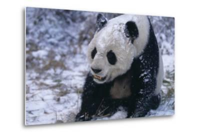 Giant Panda Sitting in Snow-DLILLC-Metal Print
