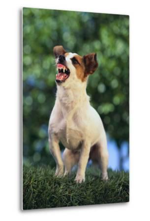 Jack Russell Terrier Bearing its Teeth-DLILLC-Metal Print