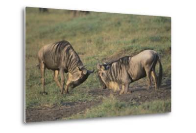 Blue Wildebeests Fighting-DLILLC-Metal Print