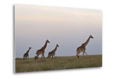 Four Masai Giraffe (Giraffa Camelopardalis Tippelskirchi)-James Hager-Metal Print
