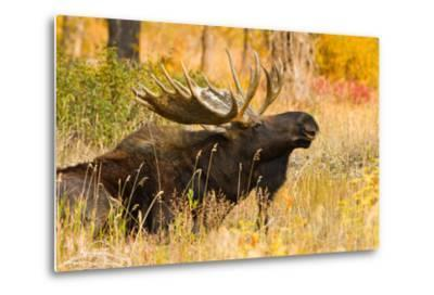 Moose bull in golden willows.-Larry Ditto-Metal Print