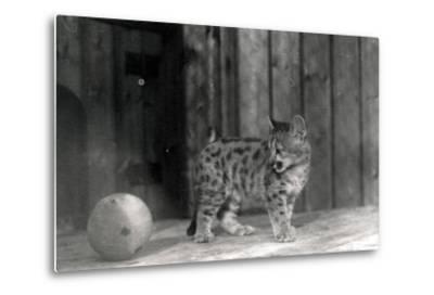 Leopard Cub with a Ball-Frederick William Bond-Metal Print