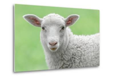 Face of A White Lamb-stefanholm-Metal Print