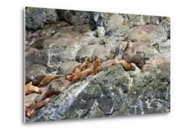 Sea Lions on Rock-Latitude 59 LLP-Metal Print