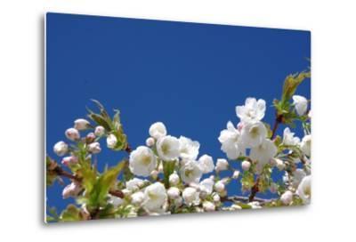 Cherry Blossom-torekimi-Metal Print