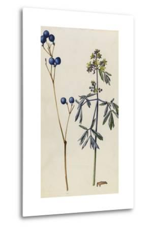 A Sprig of Blue Cohosh Plant Berries and Blossoms-Mary E. Eaton-Metal Print
