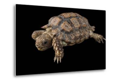 A Speckled Cape Tortoise, Homopus Signatus Signatus, at the Omaha Zoo-Joel Sartore-Metal Print