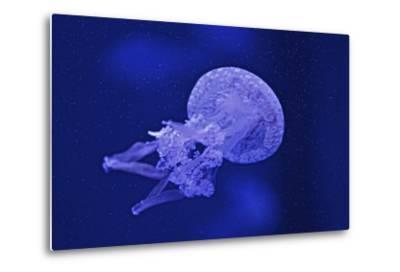 A Spotted Jellyfish, Mastiagas Species-Kike Calvo-Metal Print