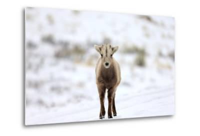 Portrait of a Bighorn Sheep Calf, Ovis Canadensis, in a Snowy Field-Robbie George-Metal Print