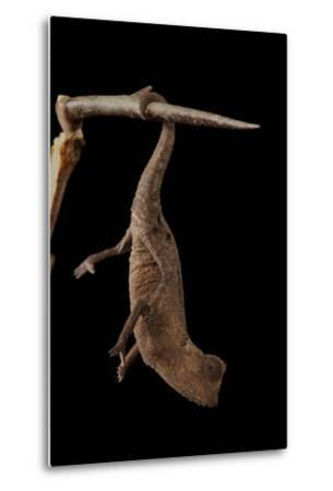 Plated Leaf Pygmy Chameleon, Brookesia Minima, at the Omaha Zoo-Joel Sartore-Metal Print