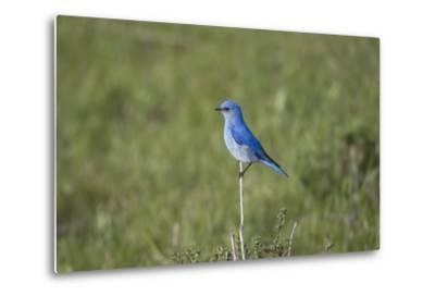 A Male Mountain Bluebird, Sialia Currucoides, Perched on a Twig Looking for Insect Prey-Robbie George-Metal Print