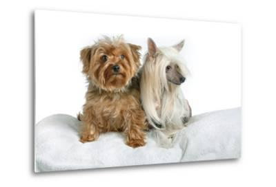 Close Up Portrait of a Pet Chinese Crested Dog and a Yorkshire Terrier-Vickie Lewis-Metal Print