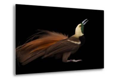 A Raggiana Bird-Of-Paradise, Paradisaea Raggiana, at the Cincinnati Zoo-Joel Sartore-Metal Print