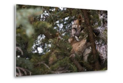 A Cougar, Treed by Hounds, to Be Tranquilized and Fitted with a Tracking Device-Steve Winter-Metal Print