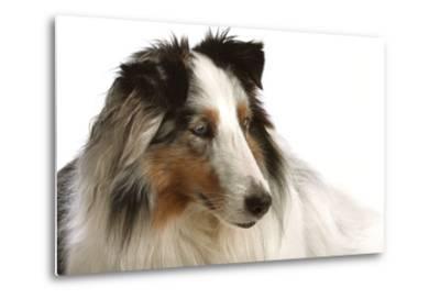 Close Up Portrait of a Pet Shetland Sheepdog-Vickie Lewis-Metal Print