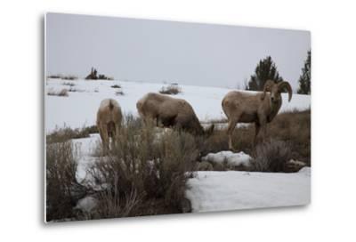 Bighorn Sheep Graze in a Snowy Field in Teton National Park-Steve Winter-Metal Print