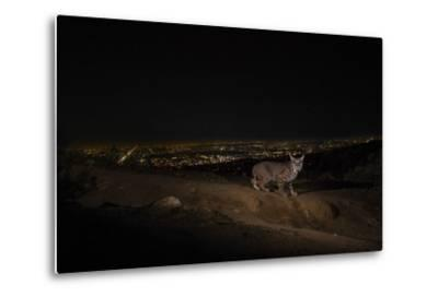 A Remote Camera Captures a Bobcat in Griffith Park-Steve Winter-Metal Print