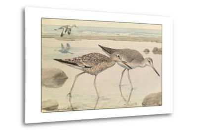 A Painting of Willets in Both Winter and Summer Plumage-Louis Agassi Fuertes-Metal Print