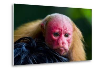 The Bright Red Face of a Bald Uakari Resting on the Head of an Amazonian Indian-Jason Edwards-Metal Print