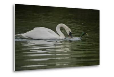 A Trumpeter Swan Protects its Young from a Mallard Drake That Came Within 6 Feet of the Cygnets-Tom Murphy-Metal Print