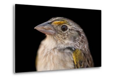A Federally Endangered, Male Florida Grasshopper Sparrow, Ammodramus Savannarum Floridanus-Joel Sartore-Metal Print
