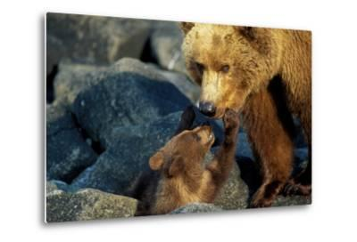 A Grizzly Bear Cub Nuzzles its Mother-Tom Murphy-Metal Print