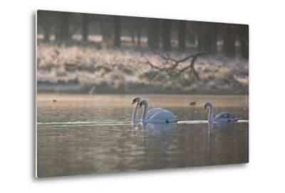 Three Swans Glide across a Misty Pond in Richmond Park at Sunrise-Alex Saberi-Metal Print