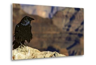 Portrait of a Crow, Corvus Species, Perched on a Rock at the Edge of the Grand Canyon-Babak Tafreshi-Metal Print