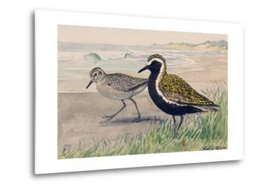 A Painting of Two Golden Plovers in Winter and Summer Plumage-Louis Agassi Fuertes-Metal Print