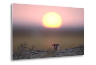 A Black-Footed Ferret, Mustela Nigripes, Peering from its Burrow at Sunset-Michael Forsberg-Metal Print
