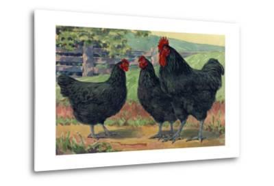 The Jersey Black Giants Lay Large Brown Eggs-Hashime Murayama-Metal Print