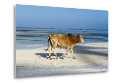 A Domestic Bull Walking Along a White Sand Beach on a Tropical Island at Low Tide-Jason Edwards-Metal Print
