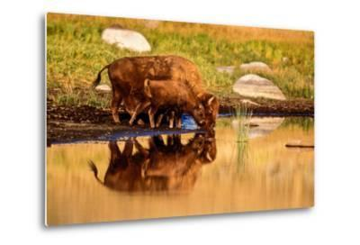 A Five Month Old Bison Calf Drinking Beside its Mother-Tom Murphy-Metal Print