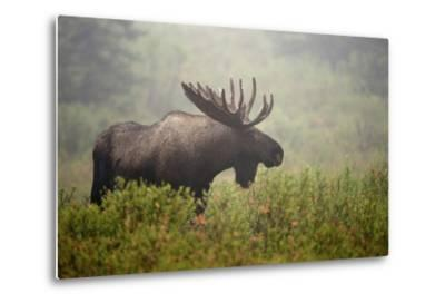 Portrait of a Male Moose, Alces Alces, in a Foggy Landscape-Bob Smith-Metal Print